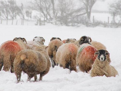 One Swaledale sheep lying in snow whilst others walk past