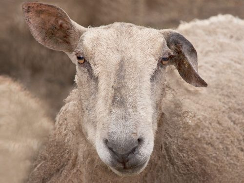 Sheep Other breeds