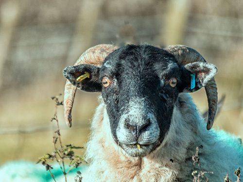 Sheep Scottish Blackface
