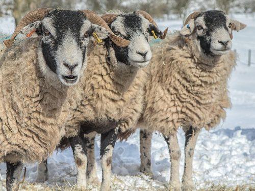 Sheep Swaledale