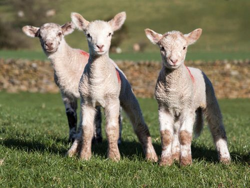 Sheep Lambs